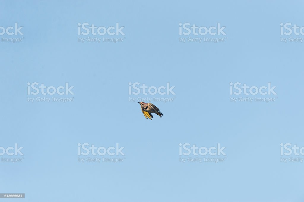 Northern Flicker rocketing past stock photo