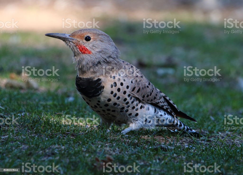 Northern Flicker Searching for Bugs in the Grass stock photo