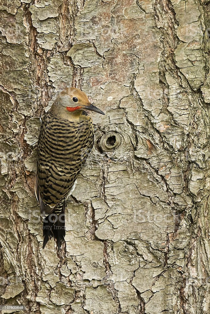 Northern Flicker woodpecker stock photo