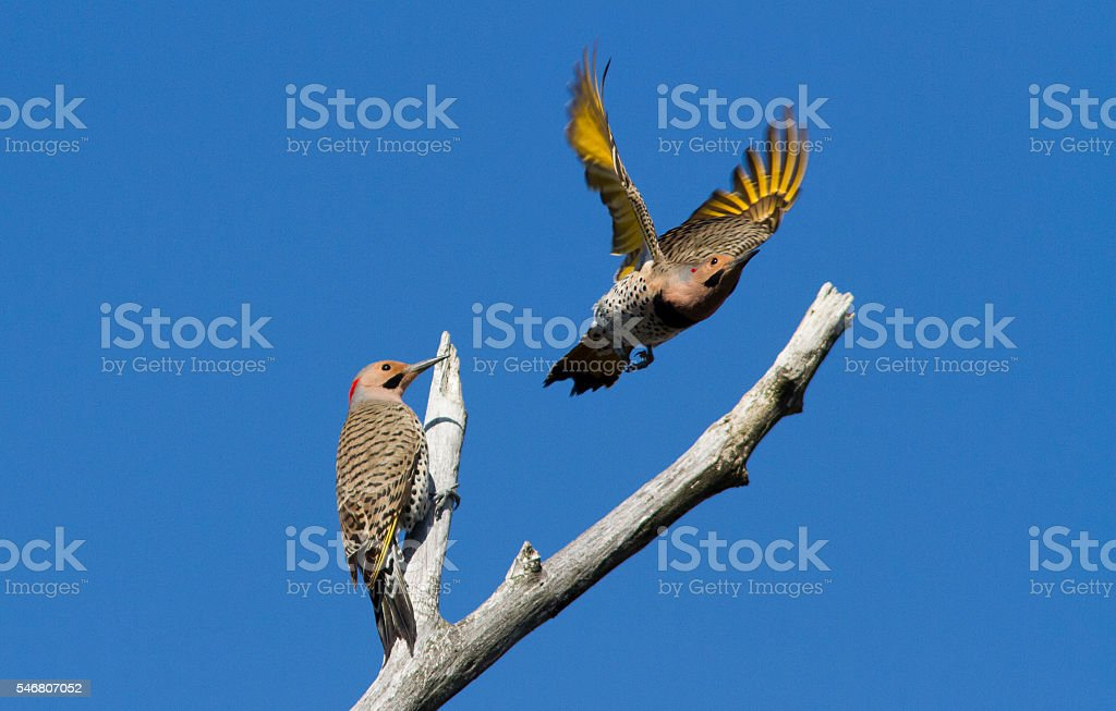 Northern flickers stock photo