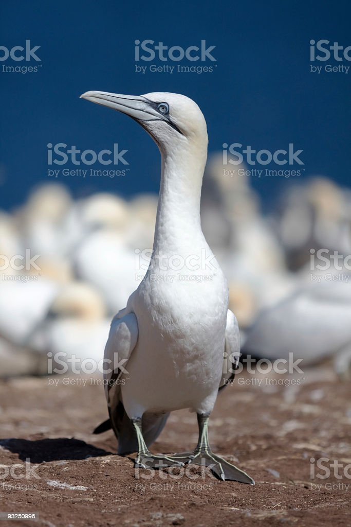 Northern gannet at Bonaventure island royalty-free stock photo