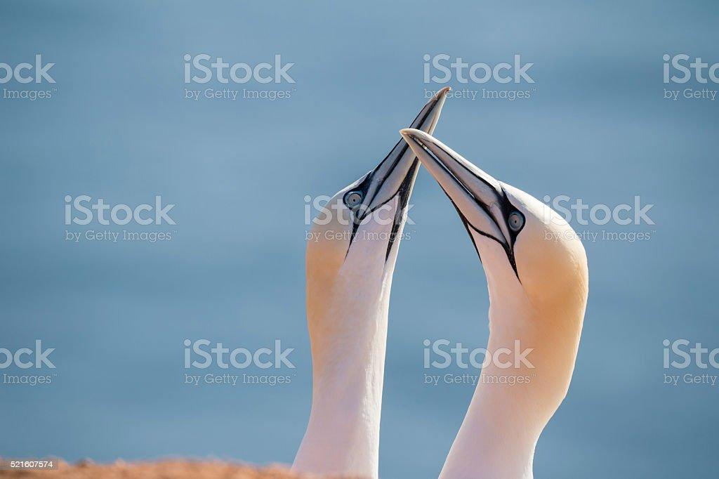 northern gannet, birds in love stock photo