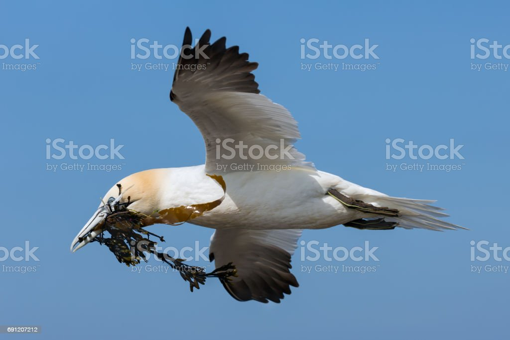 Northern gannet collecting kelp to build a nest at Helgoland stock photo