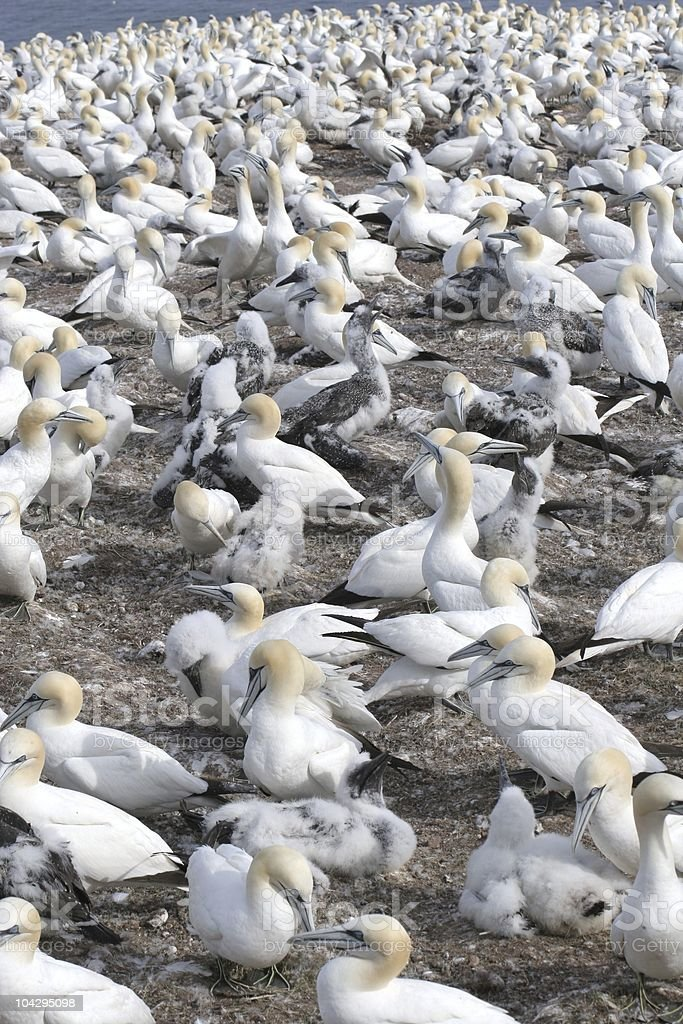 Northern gannet colony, Kanada royalty-free stock photo