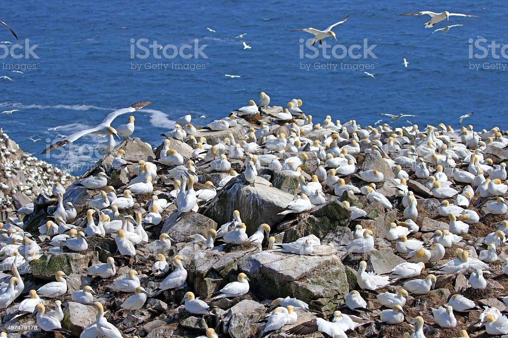 Northern Gannet Colony - Newfoundland stock photo