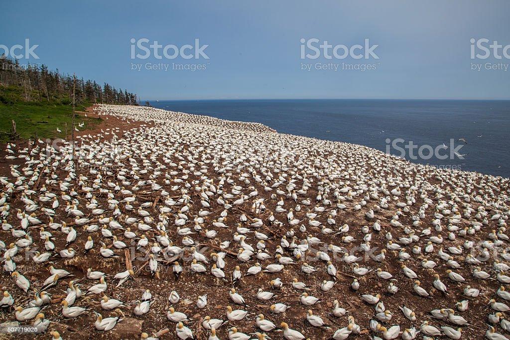 Northern Gannet colony on Bonaventure Island stock photo