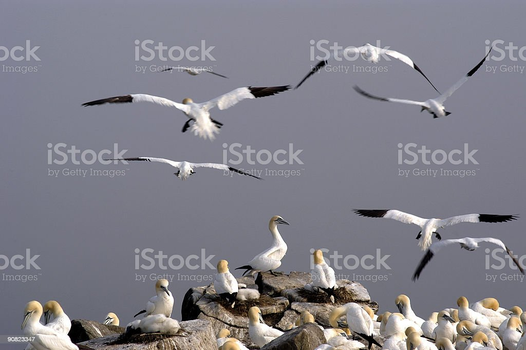 Northern Gannet Colony royalty-free stock photo