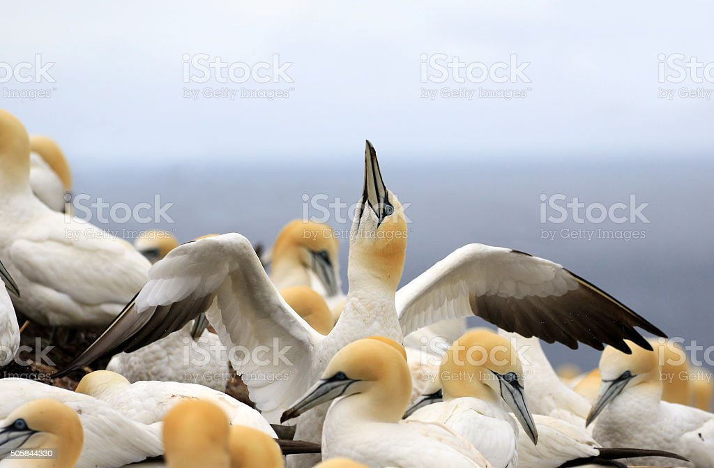 Northern Gannet Colony - Quebec, Canada stock photo