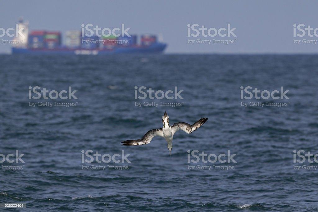 Northern gannet (Morus bassanus) diving at open sea. stock photo