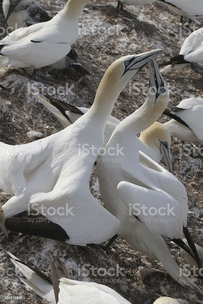 Northern gannet, greeting ceremony, Quebec, Kanada royalty-free stock photo
