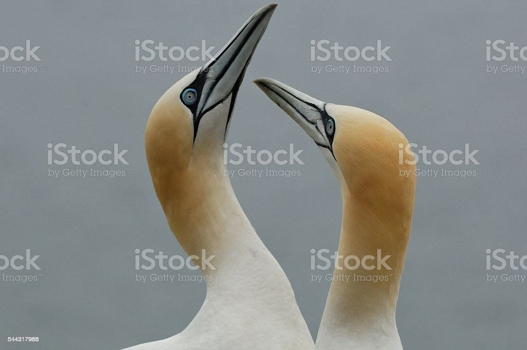 Northern Gannet in courtship stock photo