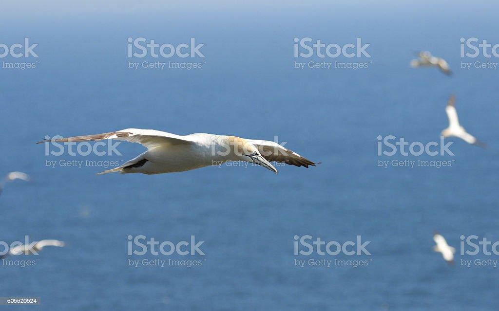 Northern Gannet in Flight - Newfoundland. Blue Ocean BG stock photo
