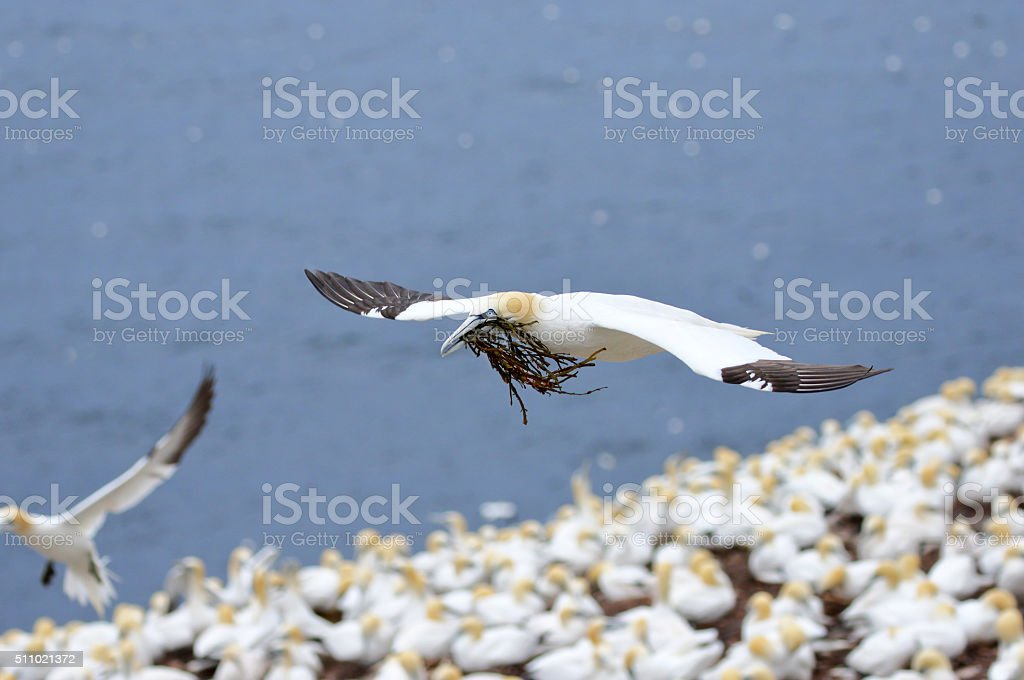 Northern Gannet in flight over Colony, Canada stock photo