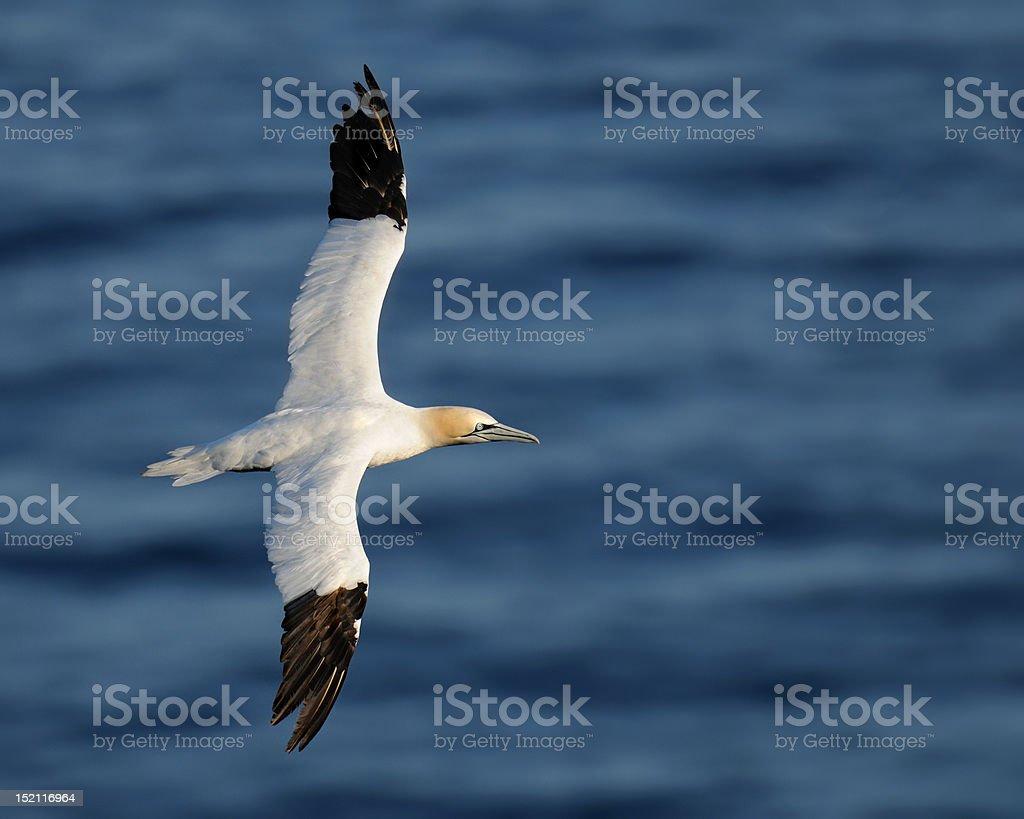 Northern gannet in flight stock photo
