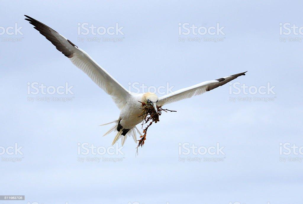 Northern Gannet in Flight - Quebec, Canada stock photo
