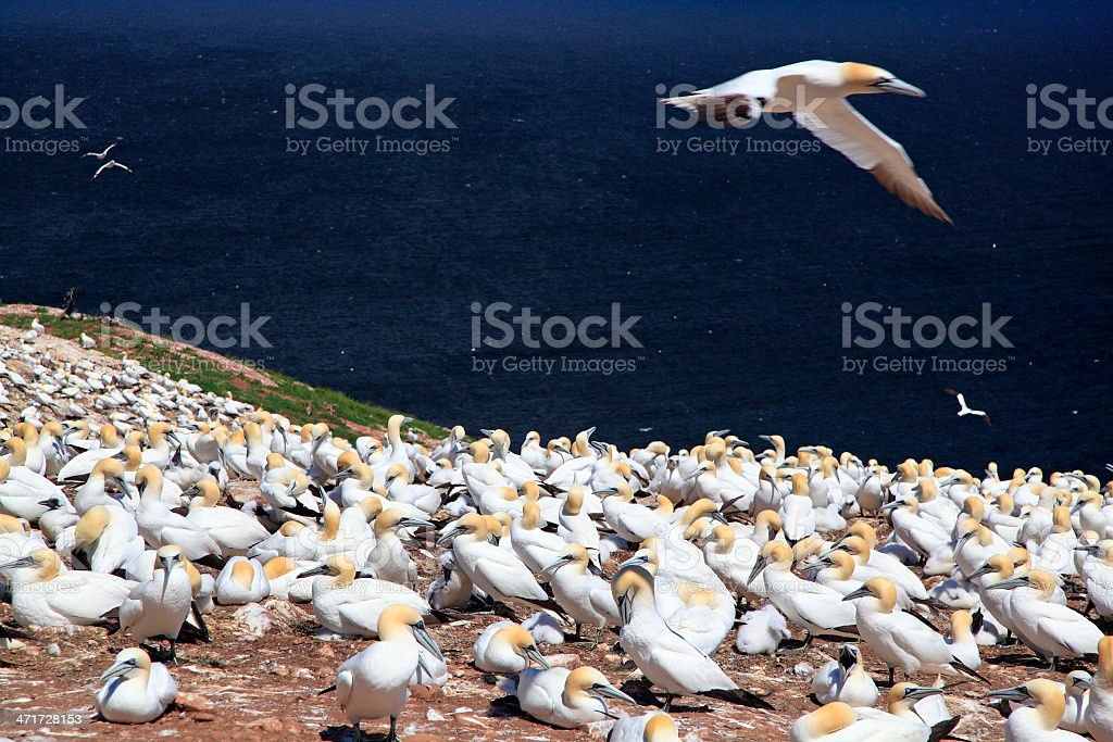 Northern Gannet on Bonaventure Island, Quebec royalty-free stock photo
