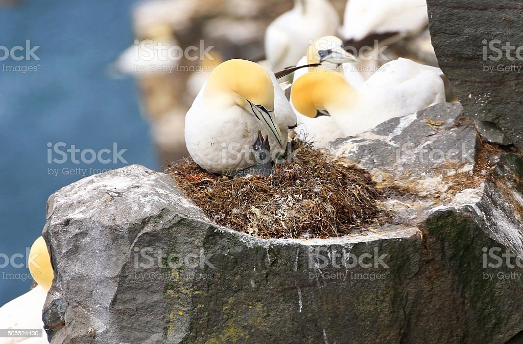 Northern Gannet on Nest with Chick, Newfoundland stock photo
