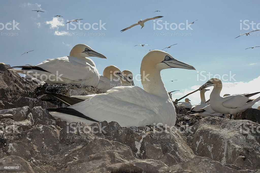 Northern Gannet royalty-free stock photo