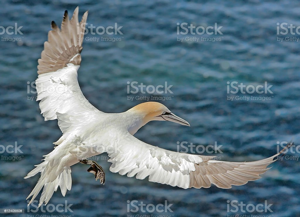 Northern gannet sailing with beautiful spread-out wings stock photo