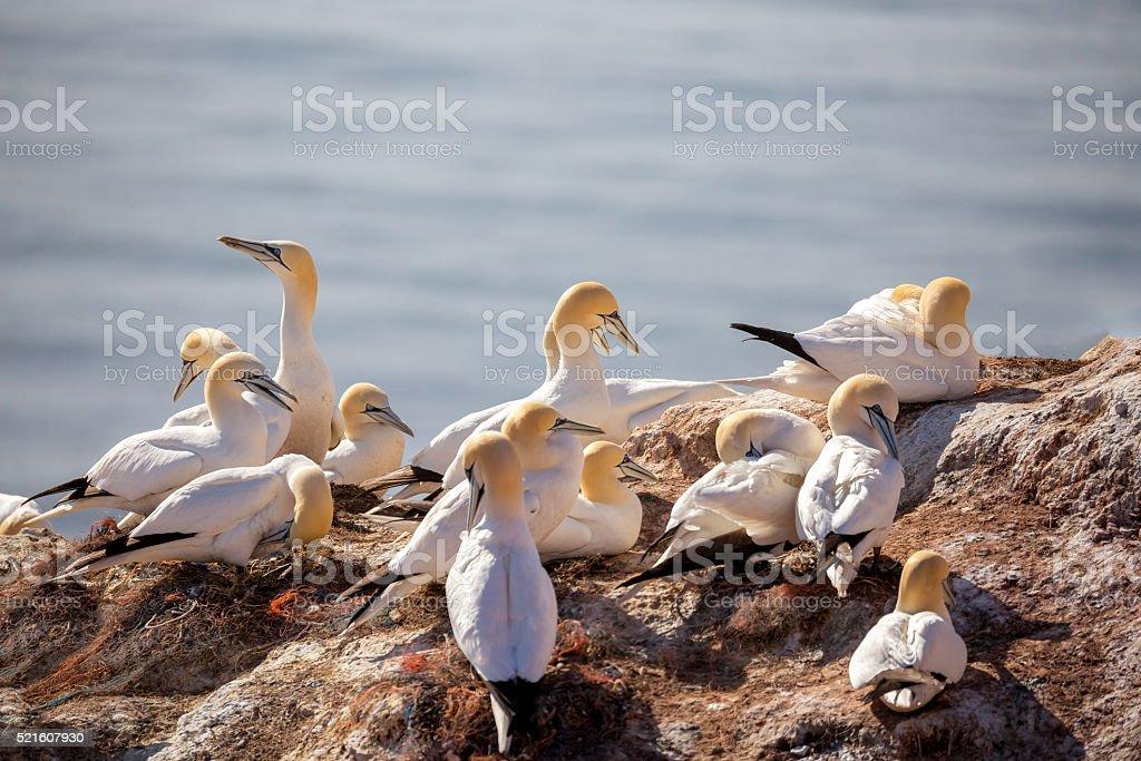 northern gannet sitting on the nest stock photo