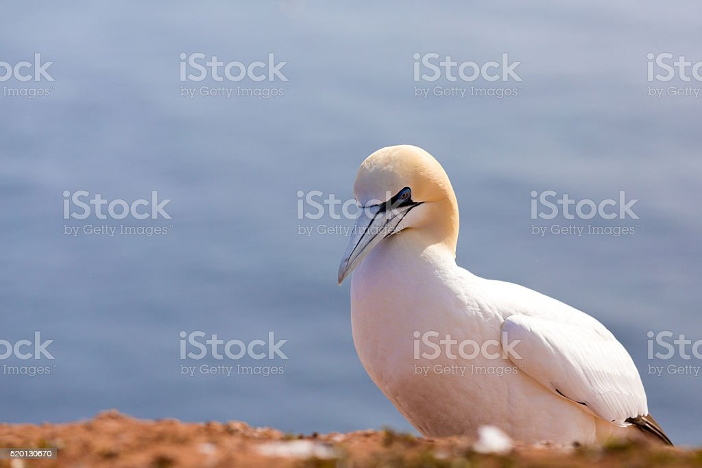 northern gannet sitting on the rock stock photo