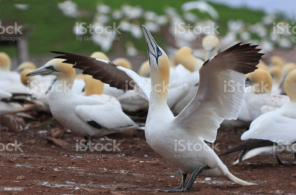 Northern Gannet Wing Flapping - Quebec, Canada stock photo