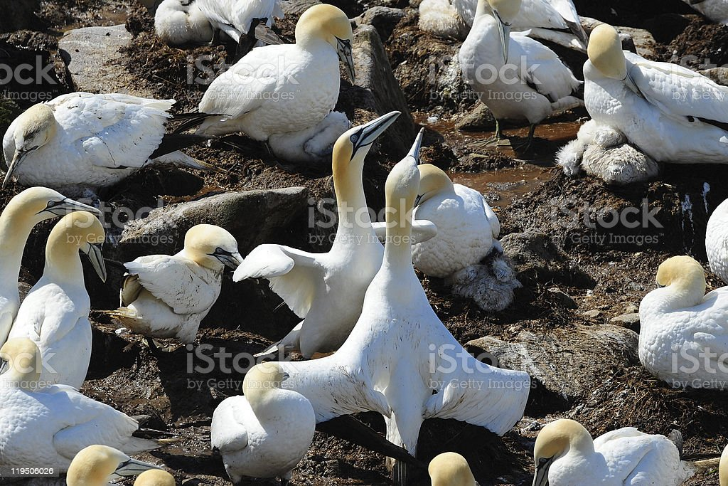 Northern gannets at nest stock photo
