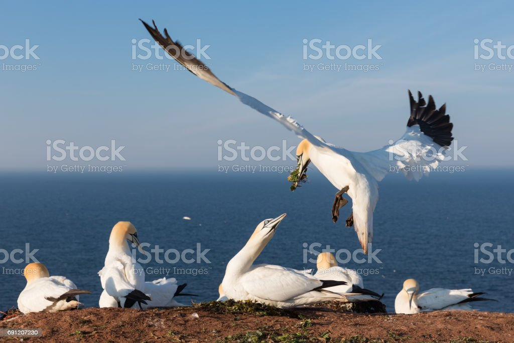 Northern gannets building a nest at German island Helgoland stock photo