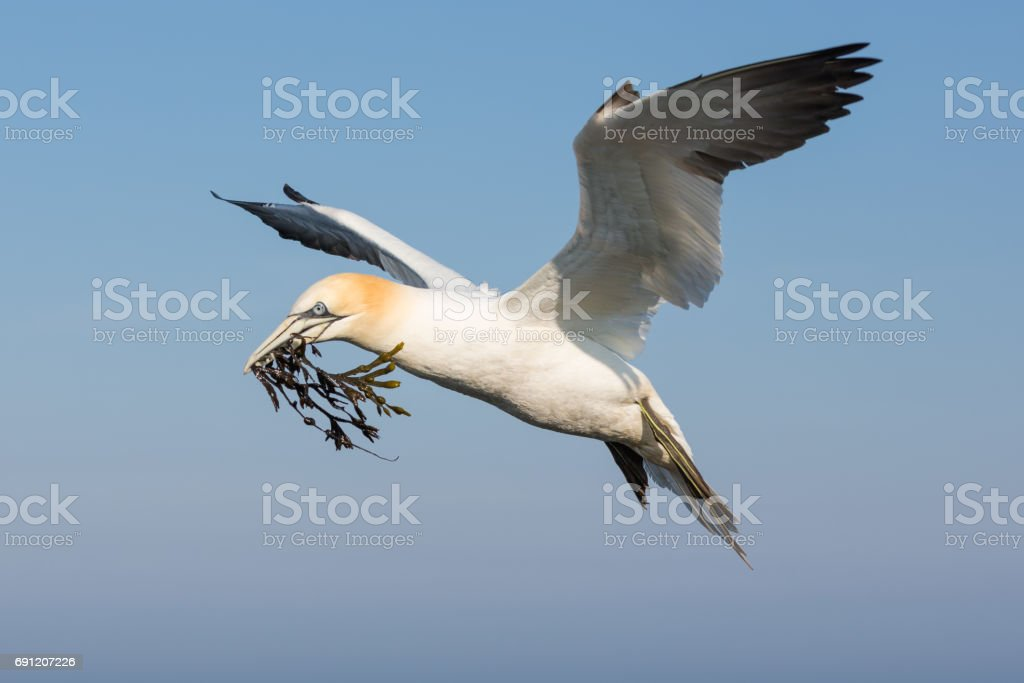 Northern gannets collecting kelp to build a nest at Helgoland stock photo