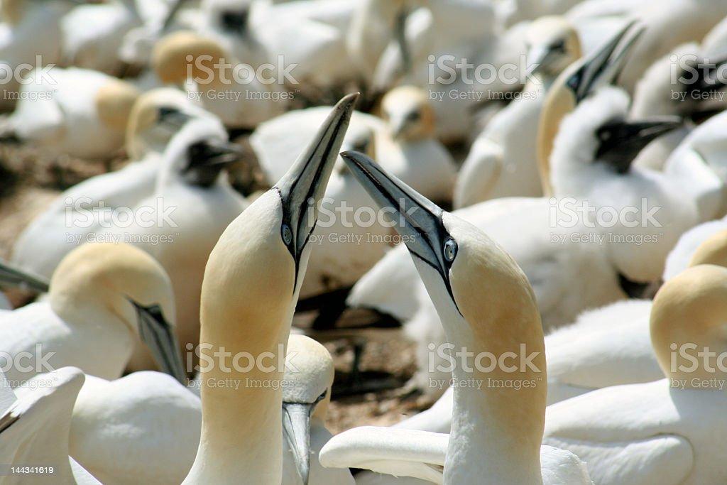 Northern Gannets - Fou de Bassan stock photo