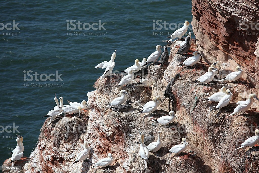 Northern gannets hatchery in Helgoland royalty-free stock photo