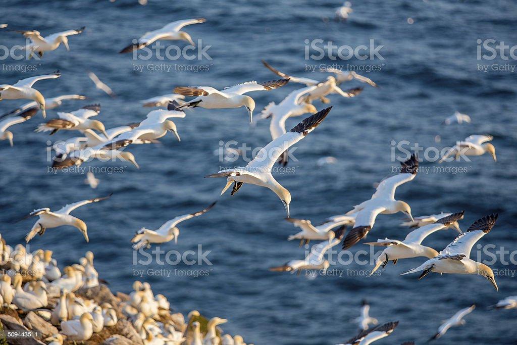Northern gannets in flight stock photo
