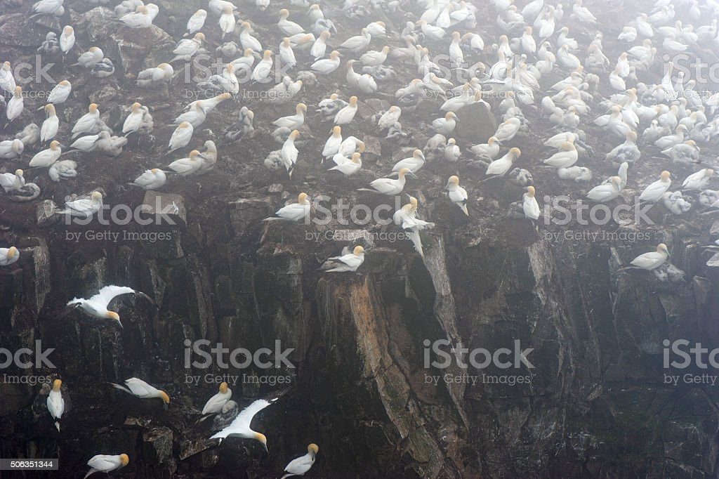 Northern gannets nestling on  the rocks in a foggy landscape stock photo