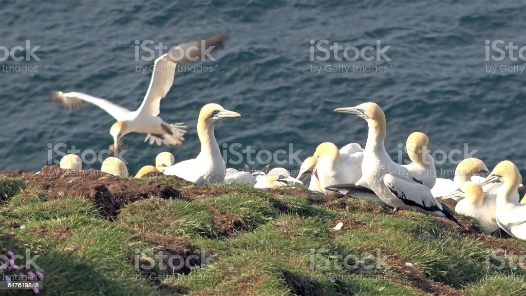 Northern gannets on a big cliff rock stock photo
