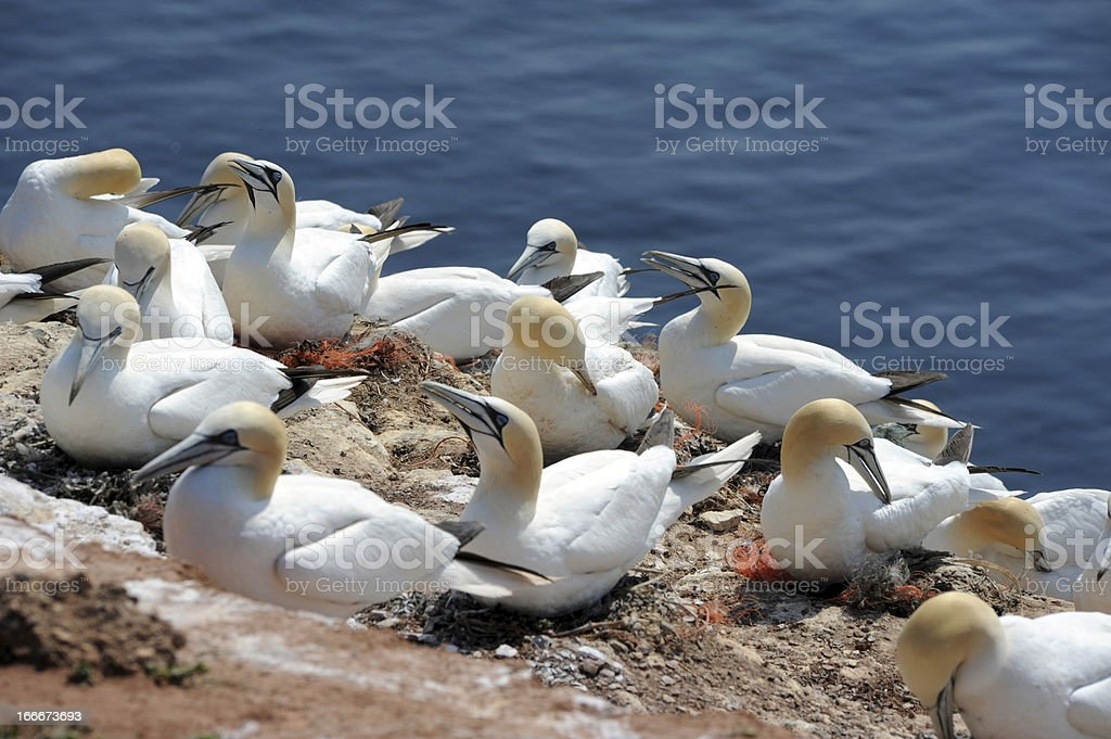 northern gannets royalty-free stock photo