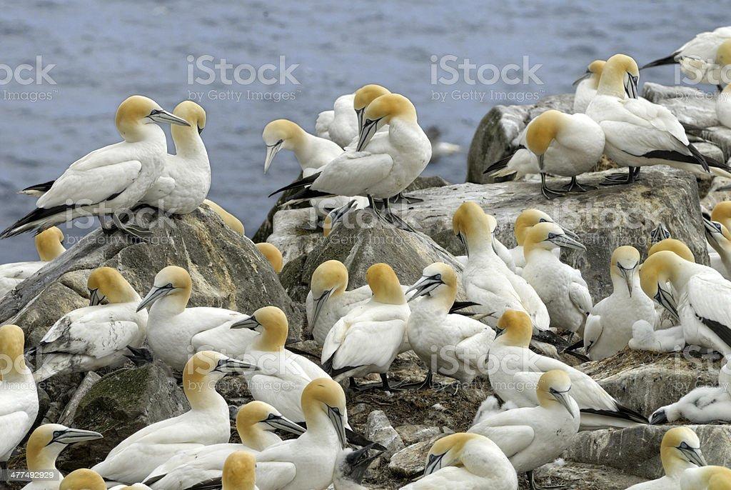 Northern Gannets stock photo