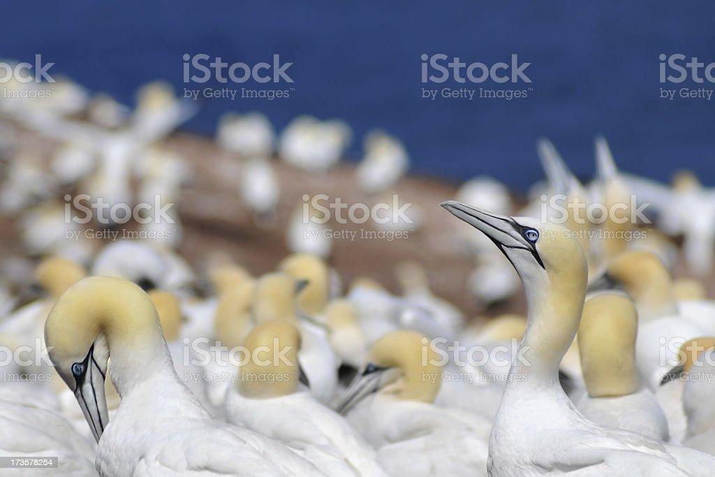 Northern Gannets – Sea Birds royalty-free stock photo