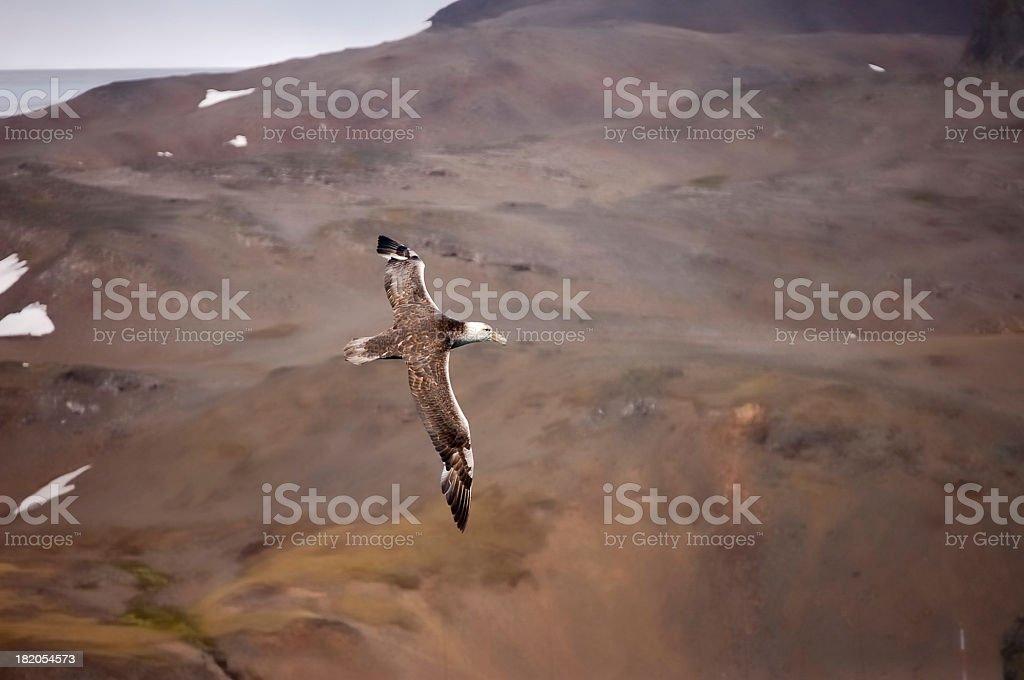Northern Giant Petrel On King George Island stock photo