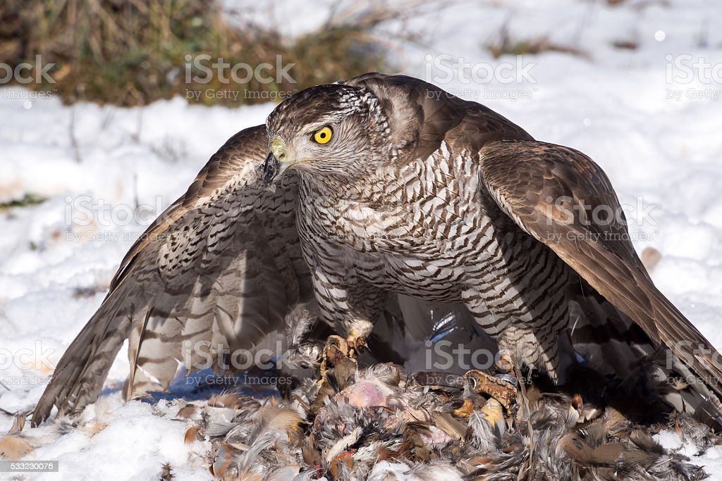 Northern goshawk eating after hunting stock photo