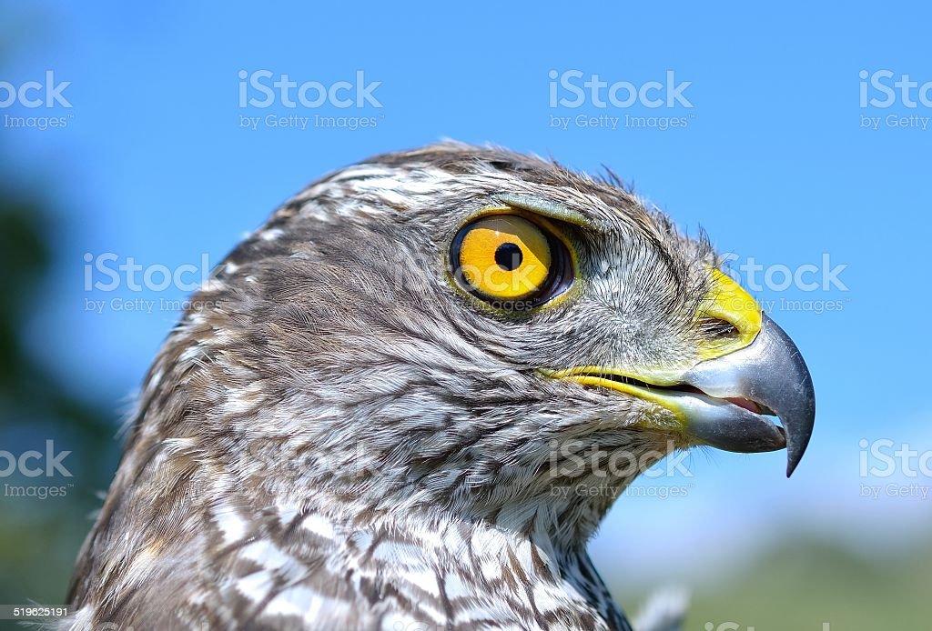 Northern Goshawk (Accipiter gentilis) stock photo