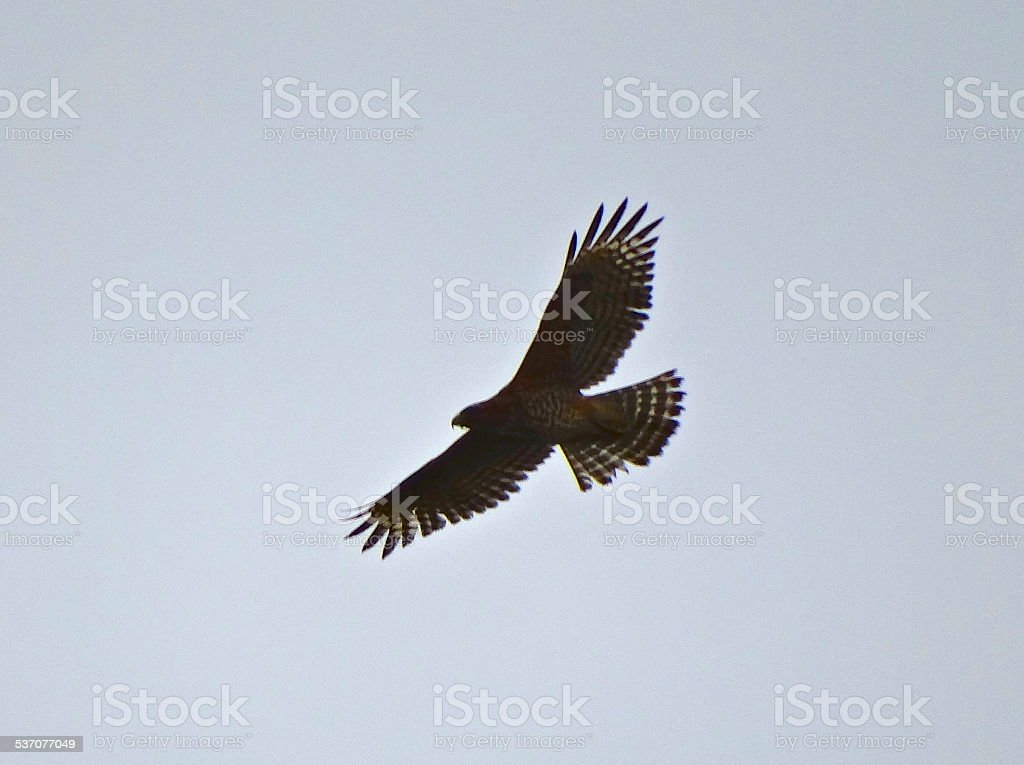 Northern Goshawk Wings stock photo
