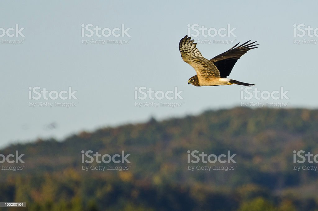 Northern Harrier Flying in the Autumn Sky royalty-free stock photo