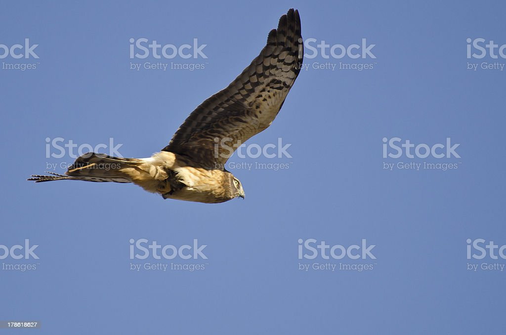 Northern Harrier Flying With Stick Caught in Tail stock photo