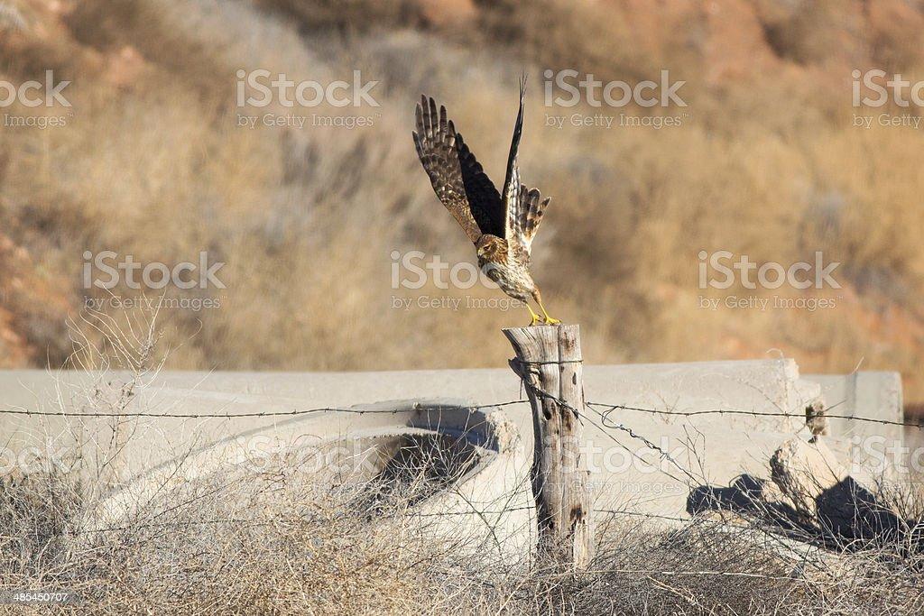 Northern Harrier Hawk royalty-free stock photo