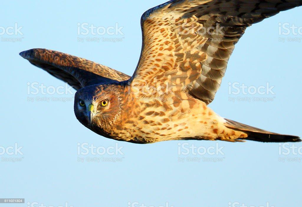 Northern Harrier in Flight - Female. Canada stock photo