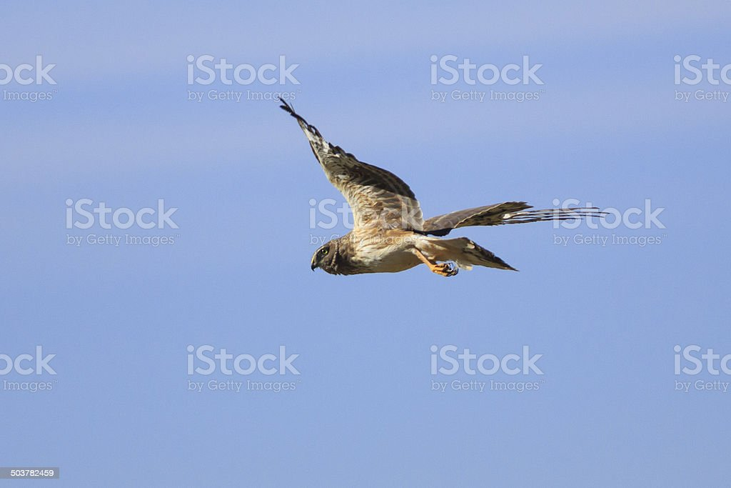 Northern Harrier in Flight royalty-free stock photo
