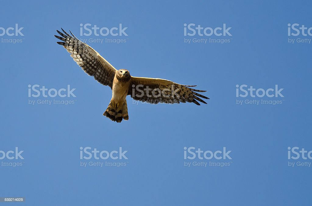 Northern Harrier Making Eye Contact As It Flys stock photo