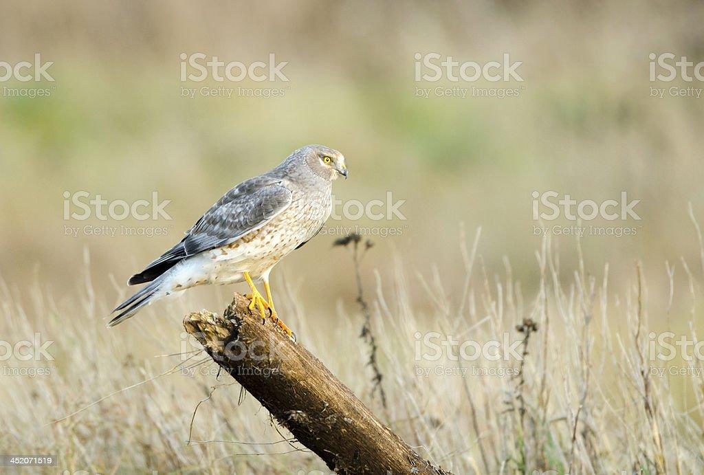 Northern Harrier, Marsh Hawk - Male, Canada stock photo