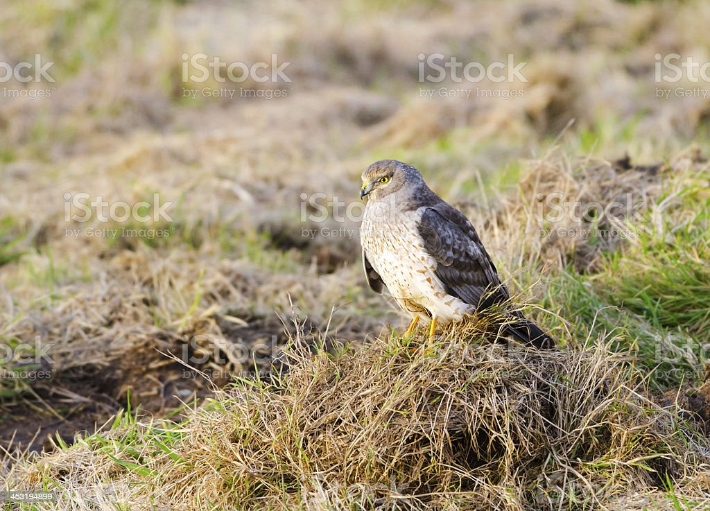 Northern Harrier, Marsh Hawk - Male stock photo