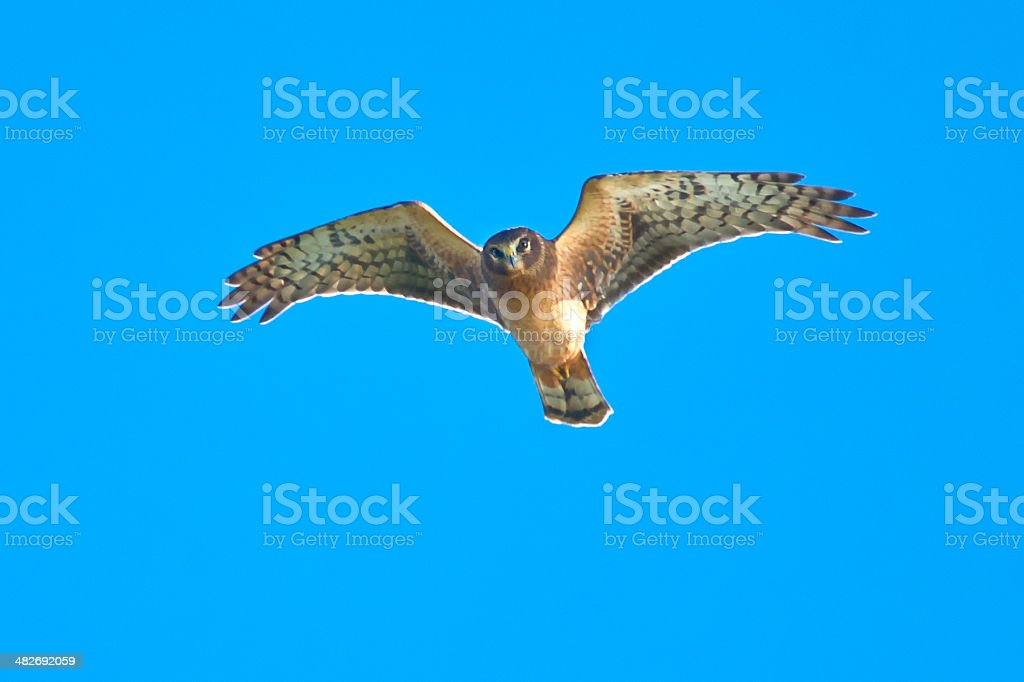 Northern Harrier royalty-free stock photo
